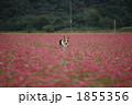 コーギー 蕎麦の花 花畑の写真 1855356