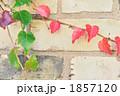 秋の蔦 1857120