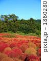 箒草 箒木 ほうき木の写真 1860280