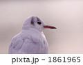 渡り鳥 ユリカモメ カモメの写真 1861965
