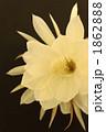 ゲッカビジン 月下美人 花の写真 1862888