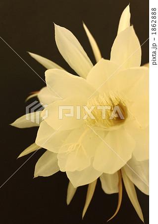 珍奇植物の月下美人 1862888
