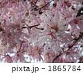 しでこぶし シデコブシ ヒメコブシの写真 1865784