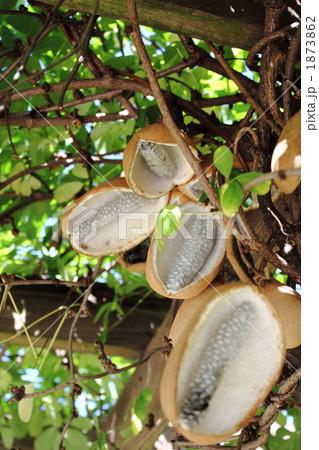 木通熟す 1873862