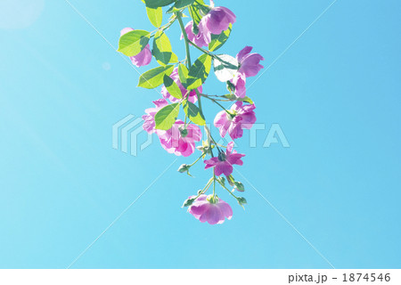 青空とバラ 1874546