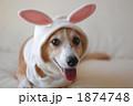 コーギー 犬 動物の写真 1874748