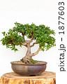 キリシマツツジ 盆栽 植木の写真 1877603