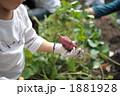サツマイモ 芋掘り いも掘りの写真 1881928