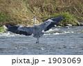 あおさぎ 青鷺 蒼鷺の写真 1903069