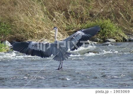 蒼鷺の大きな翼 1903069