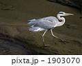 あおさぎ 青鷺 蒼鷺の写真 1903070