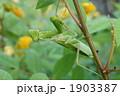 ハラビロカマキリ カマキリ 昆虫の写真 1903387