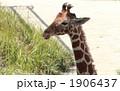 アミメキリン 陸上動物 キリンの写真 1906437