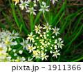 ニラ 野菜 花の写真 1911366