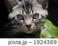 アメリカンショートヘア ペット 猫の写真 1924369