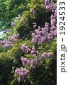ふじ フジ やまふじの写真 1924533