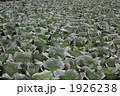 雨に濡れるキャベツ畑 1926238
