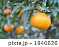 みかん畑 1940626