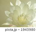 月下美人 ゲッカビジン 花の写真 1943980
