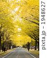 銀杏並木 1948627
