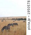 ケニアのシマウマ 1950578