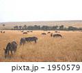 ケニアのシマウマ 1950579