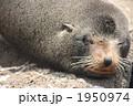 ガラパゴスアシカ 海の動物 アシカの写真 1950974