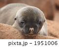 海の動物 ガラパゴスアシカ アシカの写真 1951006