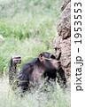 餌とり チンパンジー 猿の写真 1953553