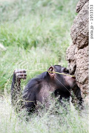 道具を使って餌をとるチンパンジー05 1953553