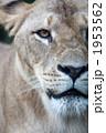 見つめるライオン 1953562