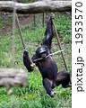 チンパンジー・ターザン 1953570