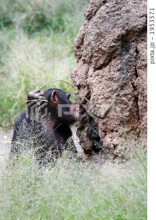 道具を使って餌をとるチンパンジー04 1953571