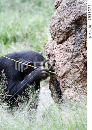 道具を使って餌をとるチンパンジー01 1953572