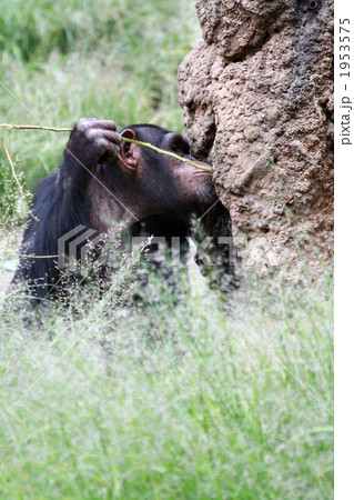 道具を使って餌をとるチンパンジー03 1953575