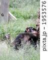 道具を使って餌をとるチンパンジー02 1953576