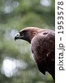 獲物を狙うイヌワシ02 1953578