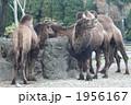 フタコブラクダ 陸上動物 ラクダの写真 1956167