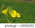 夜の花メマツヨイグサ 1956202