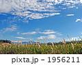 うろこ雲とチガヤの白い穂 1956211