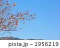 色づく柿の実 1956219