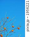 カキ 実 植物の写真 1956221