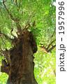 アカギ 常緑樹 大木の写真 1957996
