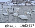 白鳥 鳥類 鳥の写真 1962437