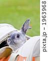 ネザーランドドワーフ 小動物 うさぎの写真 1963968