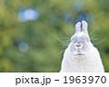 ネザーランドドワーフ 小動物 うさぎの写真 1963970