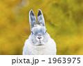 ネザーランドドワーフ 小動物 うさぎの写真 1963975