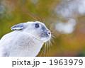 ネザーランドドワーフ 小動物 うさぎの写真 1963979