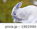 ネザーランドドワーフ 小動物 うさぎの写真 1963980