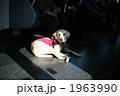 盲導犬 1963990